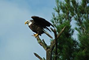 eagle-325x220